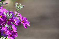 プリムラの花の画像007