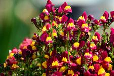 リナリアの花の画像001