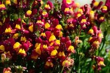 リナリアの花の画像002