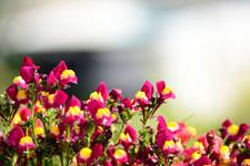 リナリアの花の画像003