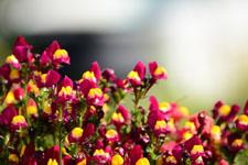 リナリアの花の画像004