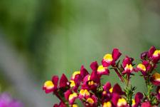 リナリアの花の画像005
