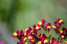 リナリアの花の画像006