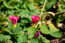 ハマヒルガオの花の画像002