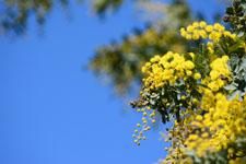 ミモザアカシアの花の画像002