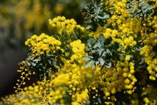 ミモザアカシアの花の画像003