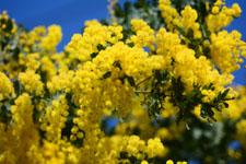 ミモザアカシアの花の画像004