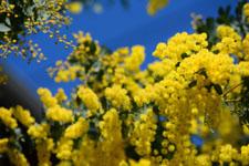 ミモザアカシアの花の画像006