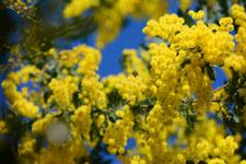 ミモザアカシアの花の画像007