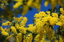 ミモザアカシアの花の画像008