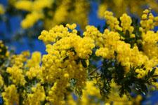 ミモザアカシアの花の画像009