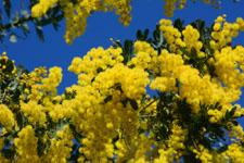 ミモザアカシアの花の画像010
