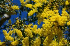 ミモザアカシアの花の画像011