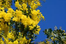 ミモザアカシアの花の画像012
