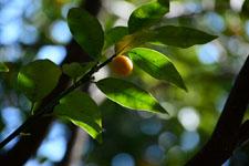 きんかんの果実の画像001
