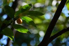 きんかんの果実の画像002