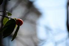 きんかんの果実の画像003