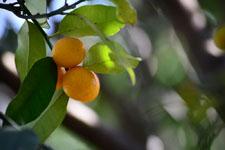 きんかんの果実の画像004