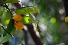 きんかんの果実の画像005