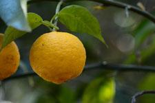 ゆずの果実の画像001