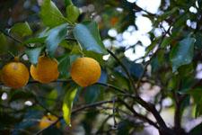 ゆずの果実の画像003