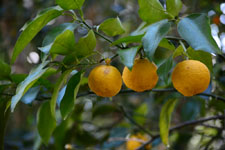 ゆずの果実の画像004