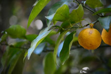 ゆずの果実の画像005