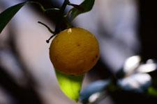 ゆずの果実の画像006