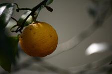 ゆずの果実の画像007