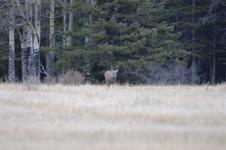 ロッキーの鹿の画像002