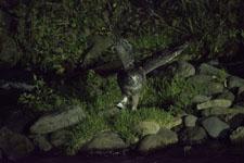 北海道のシマフクロウ