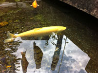 箱根の鯉のぼりの画像002