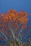 瓶ヶ森の紅葉の画像002