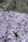 剣山の花の画像001